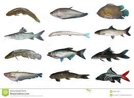 freshwater fish set freshwater fish of thailand stock image image 35617023
