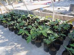 breadfruit trees are trees that feed and create in jamaica