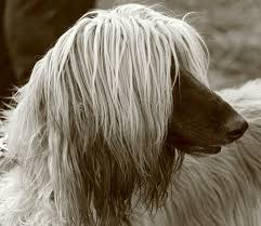 afghan hound top speed afghan hound everything you want to know about this large dog breed