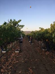 napa valley grape growers gearing up for second half of 2017 harvest