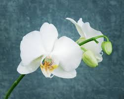White Orchid Flower Free Photo White Orchid Orchid Flower White Free Image On