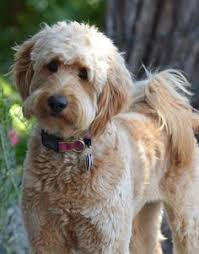 labradoodle hairstyles types of goldendoodle haircuts google search doodles