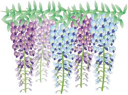 how to grow wisteria tips and tricks