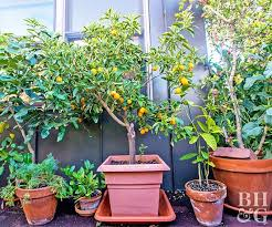 pot a fruit tree