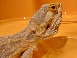 bearded dragon care bearded dragon health diseases 2