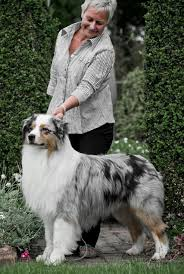 australian shepherd fabric 108 best australian shepherd images on pinterest australian