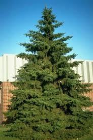 vanderwolf u0027s pyramid pine pinus flexilis