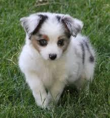 australian shepherd 4 sale best 20 toy aussie ideas on pinterest aussie puppies toy