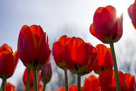 Netherlands Tulip Fields Free Images Nature Blossom Sun Flower Petal Bloom Summer