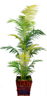 yellow areca palm tree designs by