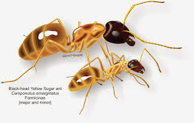 ants of southern africa camponotus species sugar ants