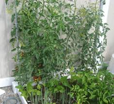 Tomatoes Trellis Growing Vertical U2013how To Support Your Plants U2013 My Square Foot Garden