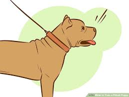 american pitbull terrier 9 meses how to train a pitbull puppy with pictures wikihow