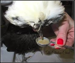 How To Care For Backyard Chickens by The Chicken Chick How To Help A Sick Chicken