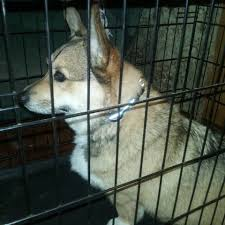 american eskimo dog rescue indiana howelling corgi dog rescue home facebook