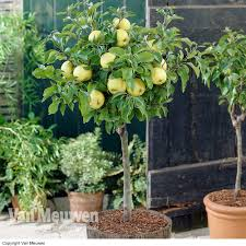 cheap patio fruit trees for sale buy a miniature fruit
