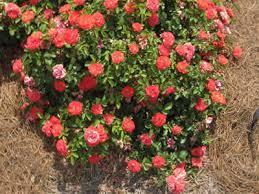 drift roses buy coral drift 2 gallon bushes buy plants online