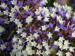statice flowers statice flowers pictures purple statice flowers
