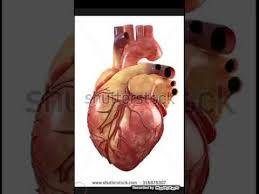 Gross Anatomy Of The Human Heart Anatomy Of The Human Heart And Position Youtube