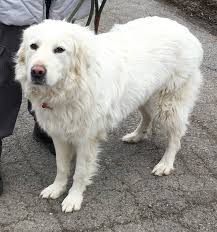 great pyrenees rescue provides wonderful dogs to good homes dog for adoption sasha near indianapolis in petfinder