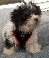 shichons haircut training and grooming tips for designer teddy bears zuchons