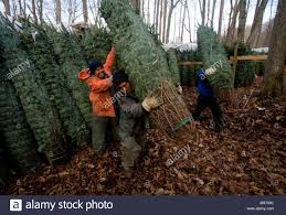 workers loading trees at a christmas tree farm in zionville north