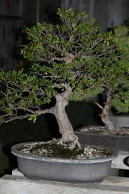 33 best e pictures chinese elm images on pinterest bonsai