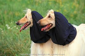 afghan hound calendar 2015 minden pictures stock photos domestic dogs two afghan hounds