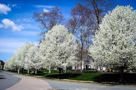 cleveland flowering pear tree for sale the tree center
