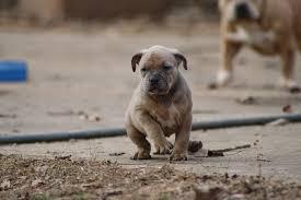 dog inbreeding carolina bully farms