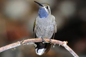 types of hummingbirds in north america photos