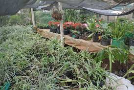 ornamental plant nursery department of horticulture