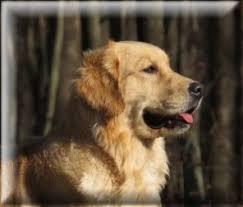 Comfort Retriever Puppies For Sale Goldendoodle U0026 Golden Retriever Puppies For Sale In Oakland Md