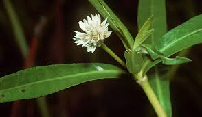 plants native to california the 39 most invasive plant species in california epic gardening