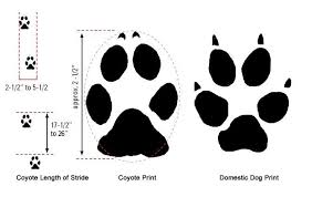 signs coyotes howling paw prints tracks
