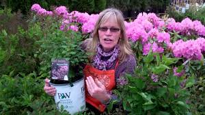 Lilca by All About Bloomerang Lilac Shrubs The Home Depot Youtube