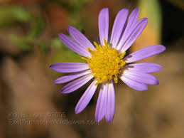 late purple aster close up of flower note how the disk flowers