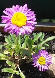 plante vivace soleil aster alpinus aster des alpes jlb paysage