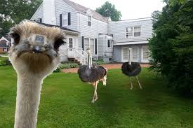 group abandons backyard chickens for frontyard ostriches news