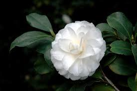 camellia american public gardens association