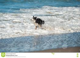 australian shepherd water playful dog bounding through the ocean white water stock photo