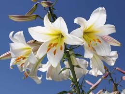 how to grow lilies saga
