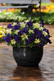 Plant Combination Ideas For Container Gardens - 69 best container gardens images on pinterest gardens pots and