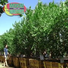 lime trees for sale