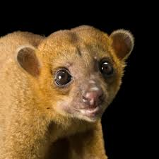 kinkajou national geographic