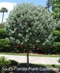 silver buttonwood conocarpus erectus var sericeus silver