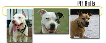 american pitbull terrier vs siberian husky pitbulls info and games