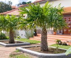 windmill palm tree trachycarpus fortunei for sale brighter