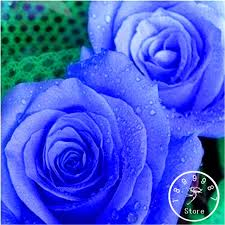 blue roses for sale online shop hot sale 100 pcs pack blue and pink seeds