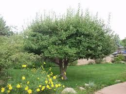 crabapple thetreefarm